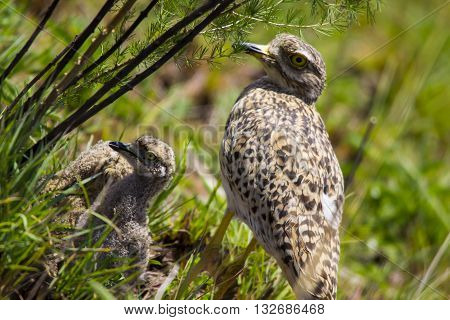 Spotted thick-knee(Burhninus capensis) bird with Chicks in wild