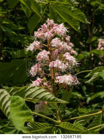 Chestnut blossoms -Castanea sativa- in spring. Flowers of chestnut surrounded by foliage.