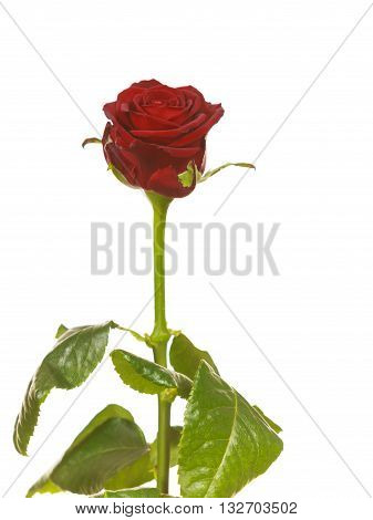 Red rose flower isolated on white. Gift for special occasion. Holidays valentines day concept.