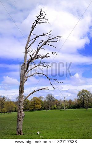 Old dead windswept tree against a blue cloudy sky