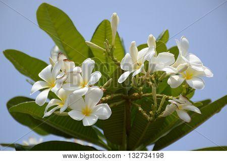 close up plumeria flower in nature garden