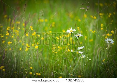 Chamomiles Growing On Wild Meadow At Summer Time.