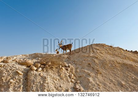 Two Ibexes on the Rocky Hills of the Negev Desert in Israel