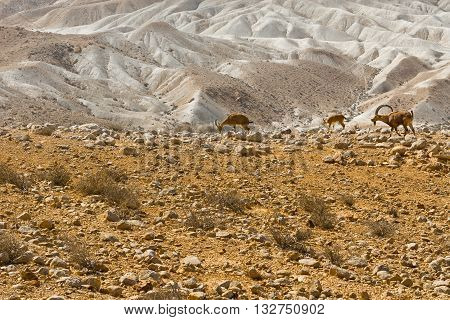 Ibexes on the Rocky Hills of the Negev Desert in Israel