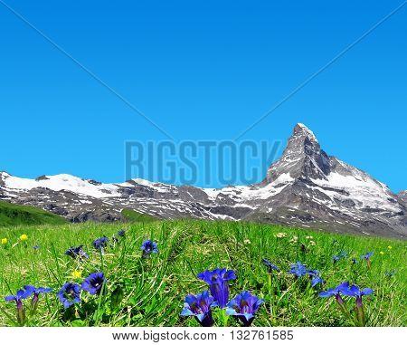 Beautiful mountain Matterhorn in the foreground blooming gentian, Pennine Alps, Switzerland