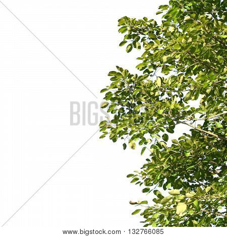 green leafs isolated  on white color background