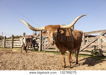 Longhorn steer in Fort Worth Stockyards. Texas United States