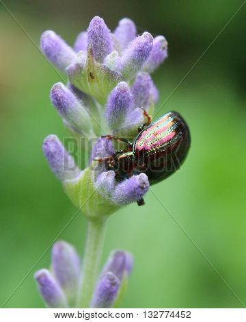 Chrysolina americanas common name rosemary beetle, feeding on the flower of one of its host plants, lavender (Lavendula).