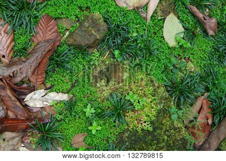 Borneo Rainforest ground texture, cover with fallen leaves partially cover the green grass and stones.