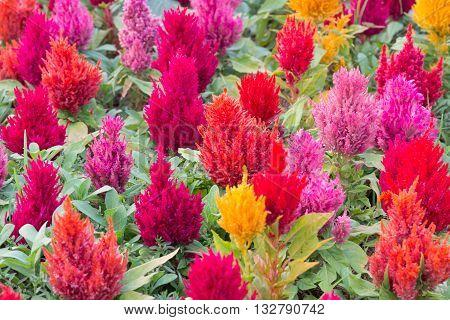 Colorful fresh celosia flower in the garden.