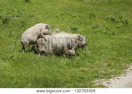 fun pigs on pasture two females and a male grazing and breeding on a green spring meadow