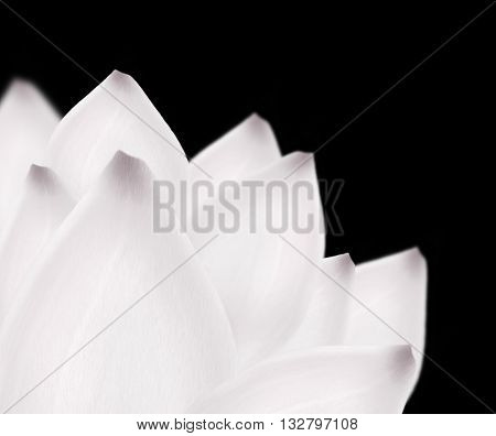 White lotus background. Beautiful snow white big water lily flower on black. White petals macro close up isolated on black background. White lotus flower. Spring summer flower concept.