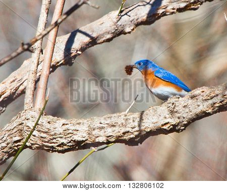 Eastern Bluebird with a worm in a tree