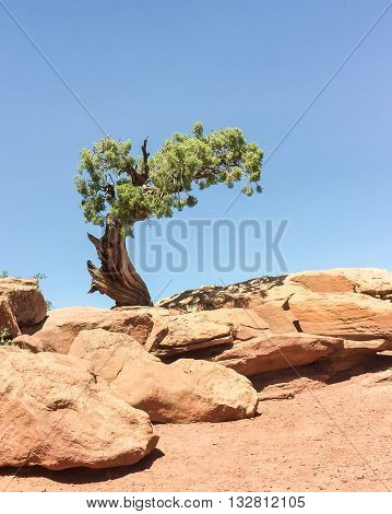 A lone Utah Juniper tree guards the West Rim Trail, in Dead Horse State Park, near Moab, Utah.