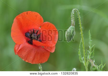 Common Poppy - Papaver rhoeas Single flower and bud