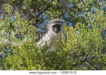 A curious vervet monkey Chlorocebus pygerythrus in a tree