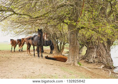 a herd of horses resting in the shade of the trees near the river on a summer day