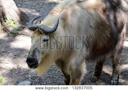 An adult Takin out in the woods