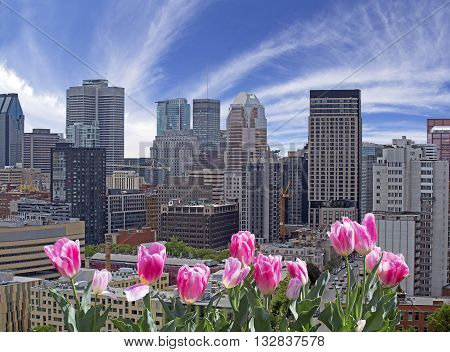 Spring in Montreal with red and pink tulips