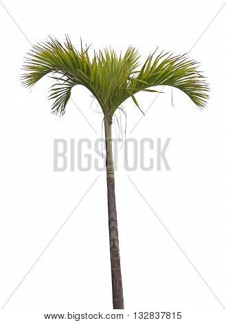 Tropical palm tree isolated on white background