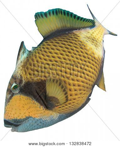 Marine fish isolated on white background: Titan Triggerfish