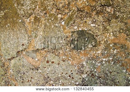 Young Oyster shells texture on rock for background