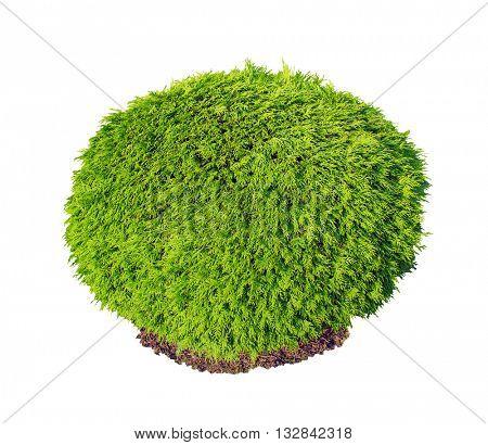 Thuja occidentalis Selena green bush isolated on white background.