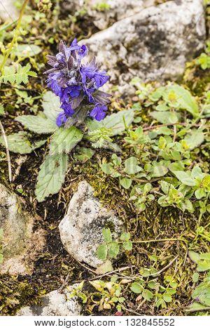 Flowering Ajuga Genevensis (upright Bugle, Blue Bugle, Geneva Bugleweed).