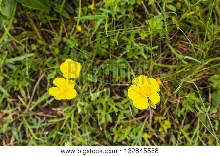 Helianthemum Nummularium (common Rock-rose).