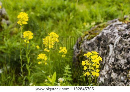 Erysimum Odoratum Ehrh., Erysimum Erysimoides (l.) Fritsch, Erysimum Pannonicum Crantz.