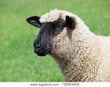Portrait of young suffolk sheep on natural green background