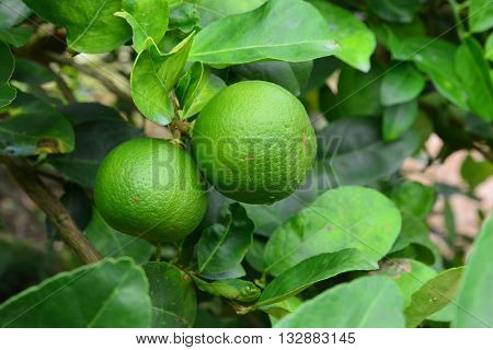 Lime tree fruits, Lime on a tree with morning dew
