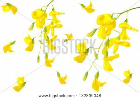 Prickly sesban flowers, Sesbania bispinosa, on white background