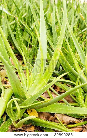 close up of Aloe vera plant in the farm