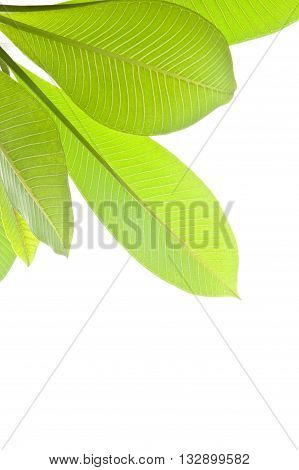 Plumeria leaves isolated on the white background