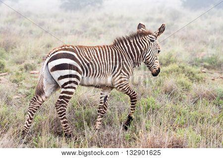 A mountain zebra foal Equus zebra zebra walking in misty conditions near Cradock in South Africa