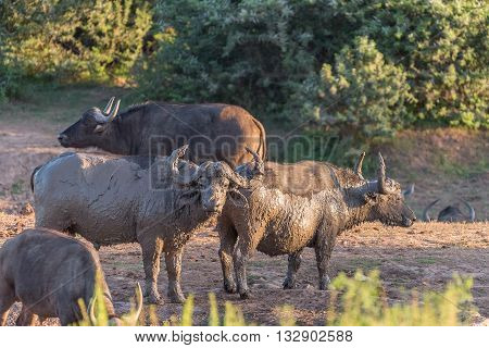 Mud covered cape buffaloes Syncerus caffer at sunset in the Eastern Cape Province of South Africa