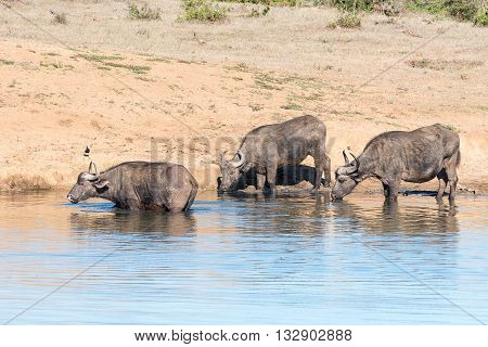 African Buffaloes Syncerus caffer drinking at a dam in the Eastern Cape Province of South Africa. A Blacksmith Plover is looking on