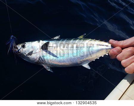 a beautiful Blue fin bluefin tuna catch