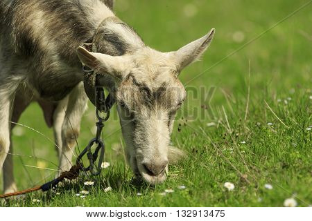 Goat feeds on a green meadow close-up
