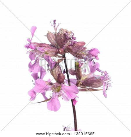 Sticky catchfly (Silene viscaria) isolated on white background. Pink flowers isolated on white background poster
