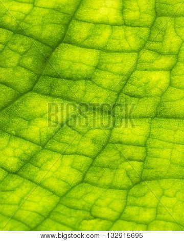 New grown Skunk cabbage leaf in spring