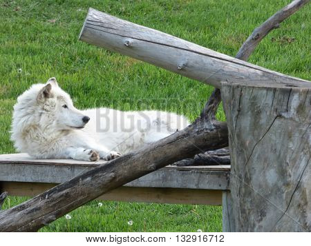 A gray wolf relaxing on a platform.