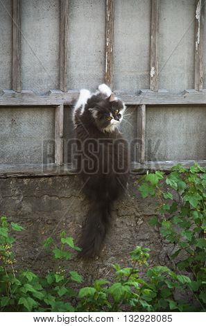 Fluffy gray cat clinging to the fence
