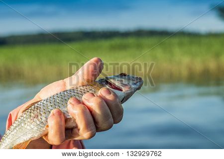fishing, fish roach in the hand of angler at shore