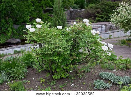 White tree peonies in a public botanical garden in the city of Krivoy Rog in Ukraine