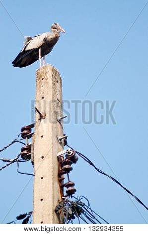 Asian openbill standing on top of electric pole. Human invades bird habitat. Anastomus oscitans is a large wading bird in the stork family. Found mainly in the Indian subcontinent and Southeast Asia.