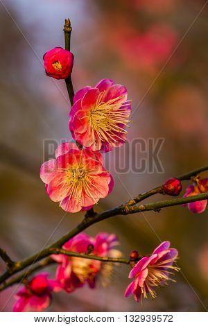 Plum Blossoms Prunus Mume West Lake Jiangsu Province China.