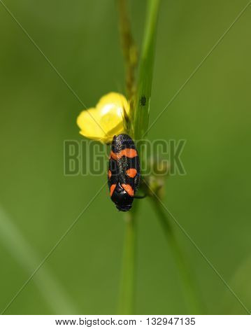 Beetle black and red color in green grass