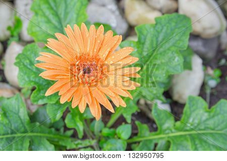 flower Gerbera of the Gerbera genus. Orange with water drops in the garden Barberton daisy Gerbera jamesonii Daisy fromSouth Africa. (select focus Gerbera and Blur blurred background